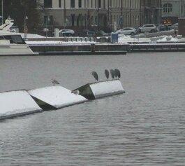 Harmaahaikaroita Tervasaaren eteläpuolen aallonmurtajalla.