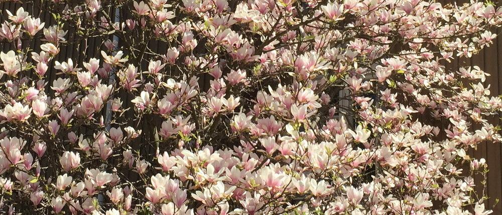 Kukkivat puut - 100 magnoliaa Helsinkiin