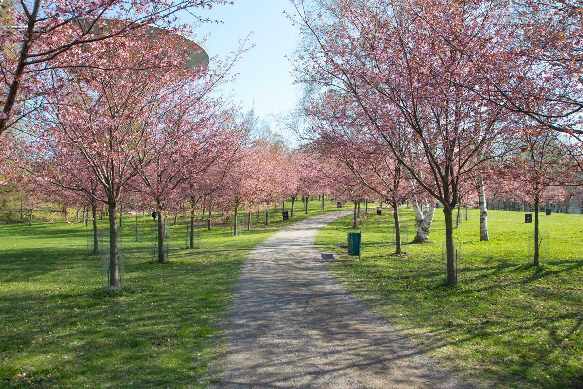 Jalankulkuyhteys Roihuvuoren Kirsikkapuistosta vesitornille