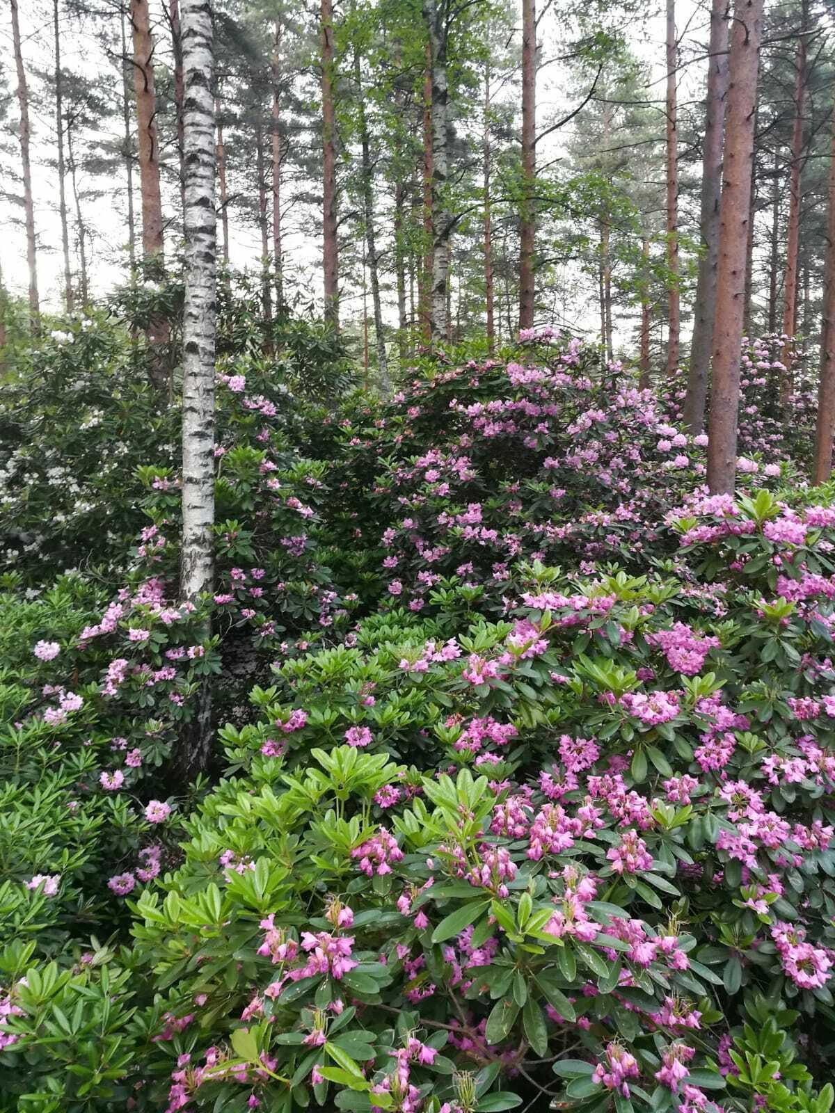 Viihtyisyyttä ja koko kesän kukkiva kirsikkapuisto Tapuliin!