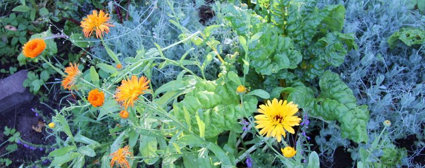 Mehiläistarhausta ja hunajantuotantoa Nummisuutarin palstojen lähellä