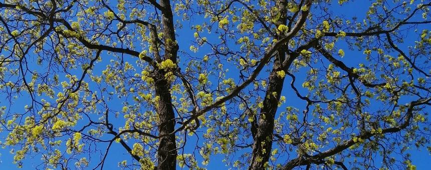 100 000:n puun istuttamisen aloitus kaupunkilaisten hyvinvoinnin edistämiseksi