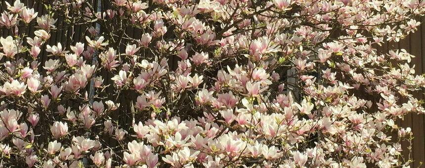 Flowering trees – 20 magnolias for Helsinki