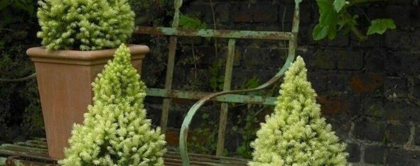 More coniferous plants for the whole city!